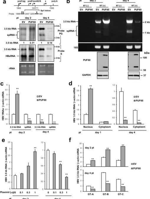 Involvement of PUF60 in Transcriptional and Post-transcriptional Regulation of Hepatitis B Virus Pregenomic RNA Expression